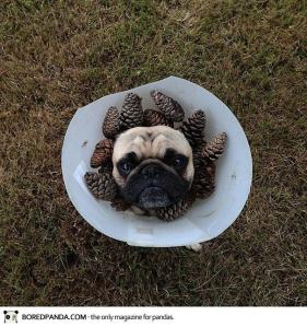 norm-the-pug-dog-photography-12