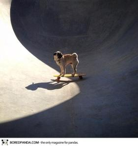 norm-the-pug-dog-photography-18